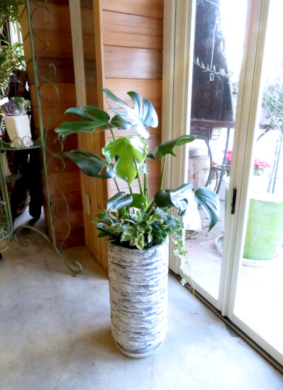 0433観葉植物ギフト モンステラとアンティーク鉢