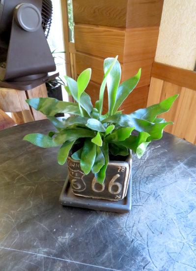 0434インテリア観葉植物ギフト コウモリラン66ミニ観葉まとめ割対象商品