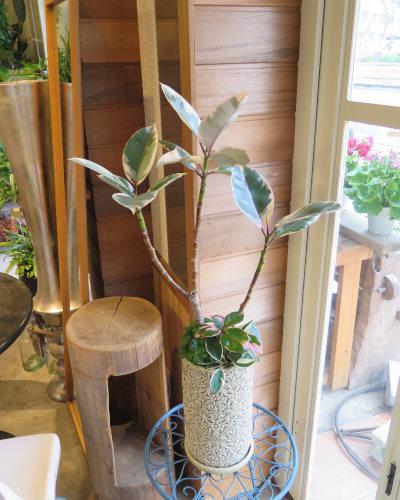0441観葉植物ギフト フィカスルビーとリーフ柄鉢