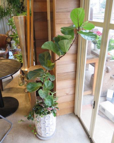 0443観葉植物ギフト カシワバゴムとリーフ柄鉢【大型商品】