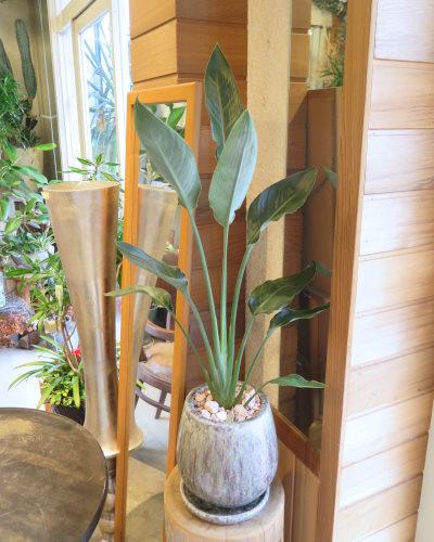 0442観葉植物ギフト ストレチアとブルー鉢