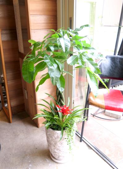 0447観葉植物ギフト パキラとアンティーク風エンボス鉢【大型商品】