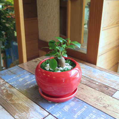 0449観葉植物ギフト 風水ガジュマル☆自分をアピールしたい時の【赤】ミニ観葉まとめ割対象商品