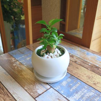 0448観葉植物ギフト 風水ガジュマル☆素直な気持ちを贈りたい時の【白】ミニ観葉まとめ割対象商品