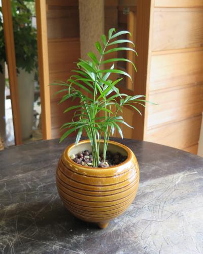 0454インテリア観葉植物ギフト  ~ハイドロカルチャー テーブルヤシ(虎子)~