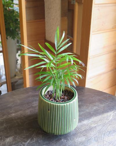 0453インテリア観葉植物ギフト  ~ハイドロカルチャー テーブルヤシ(翡翠)~