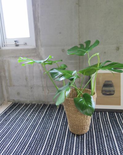 0464観葉植物ギフト モンステラとサマーバスケット