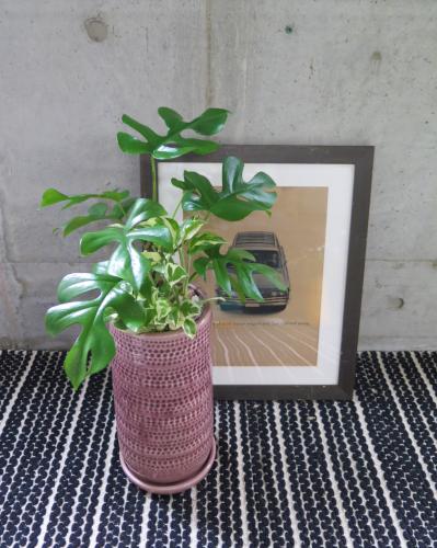 0463観葉植物ギフト 姫モンステラとピンクポット