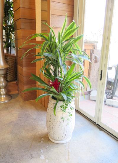 0472観葉植物ギフト まぶしい輝き!ドラセナレモンライム・カルタゴ