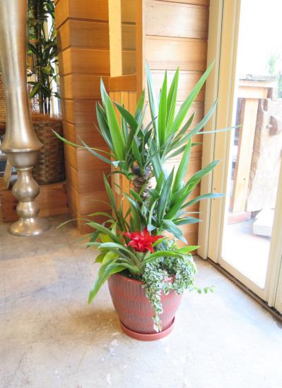 0468観葉植物ギフト ユッカの和モダン朱鉢
