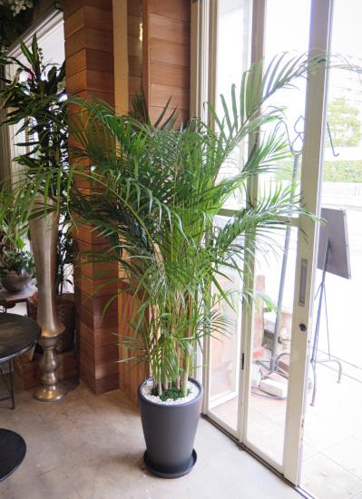 0471観葉植物ギフト アレカヤシと黒鉢