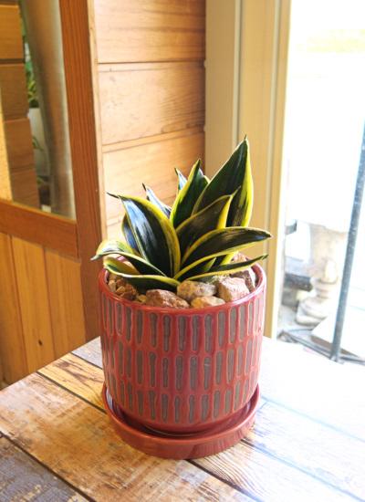 0470観葉植物ギフト サンスベリアハニーの和モダン朱鉢