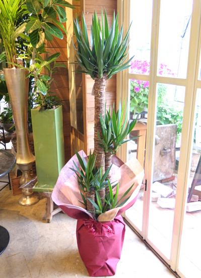 0475 観葉植物ギフト 開業お祝におすすめ ユッカのシンプルラッピング