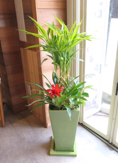 0477観葉植物ギフト ☆開運の木☆ミリオンバンブーとグズマニアのグリーン鉢