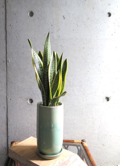 0484 観葉植物ギフト サンスベリアの和モダン白緑(びゃくろく)鉢