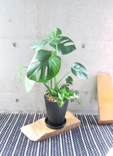 0489観葉植物ギフト モンステラとミニ観葉(黒ストライプ柄樹脂ポット)