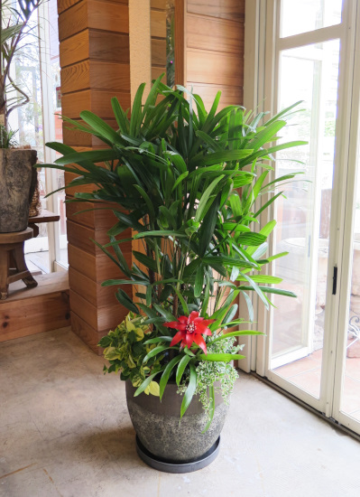 0492観葉植物ギフト 観音竹の和モダン鉢(石調デザイン樹脂ポット)【大型商品】