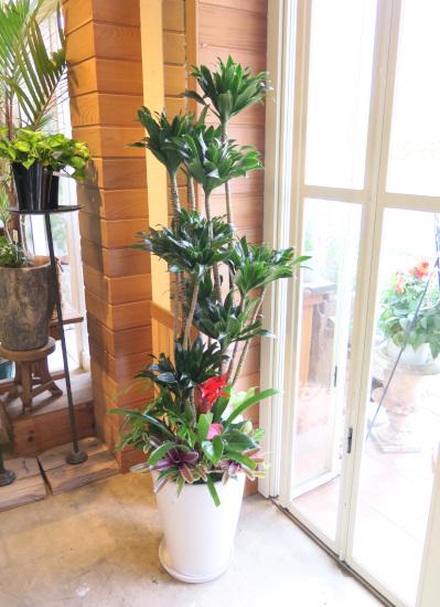 0493観葉植物ギフト コンパクターの豪華なホワイト鉢【大型商品】