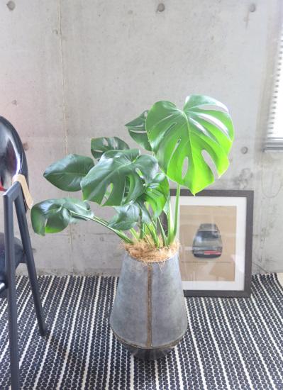0495観葉植物ギフト モンステラとアンティーク風ブリキポット