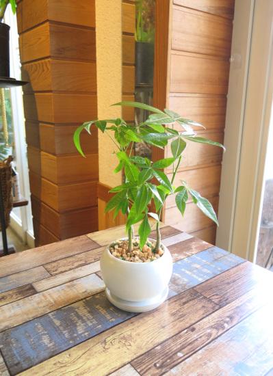 0103観葉植物ギフト 風水パキラ☆素直な気持ちを贈りたい時の【白】ミニ観葉まとめ割対象商品