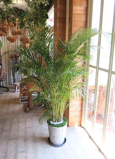 0517観葉植物ギフト アレカヤシの軽量おしゃれ鉢(シンプル)【大型商品】