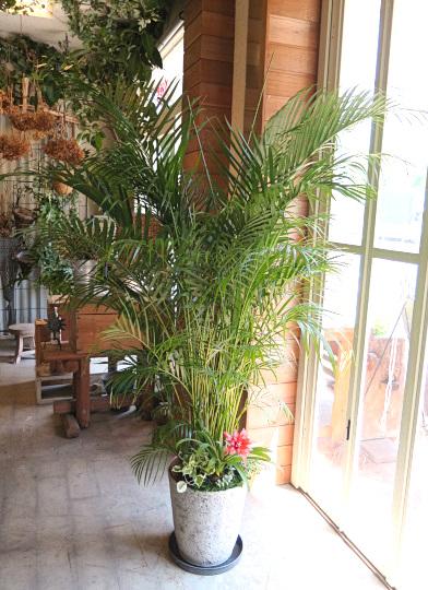 0518観葉植物ギフト アレカヤシの軽量おしゃれ鉢(華やか寄せ植え)【大型商品】