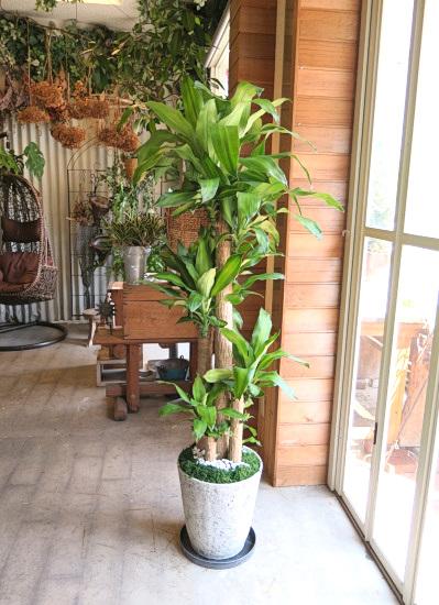 0519観葉植物ギフト 幸福の木の軽量おしゃれ鉢(シンプル)【大型商品】