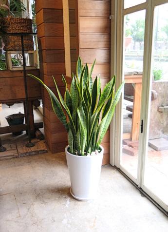 0522観葉植物ギフト サンスベリアと白鉢(シンプル)【大型商品】