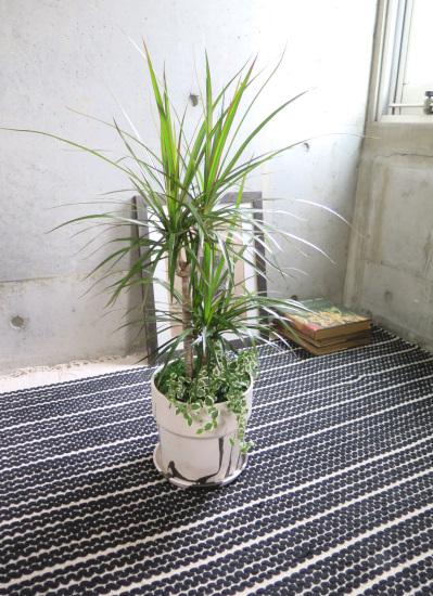 0524観葉植物ギフト コンシンネとマーブルポット