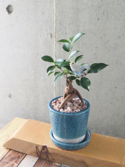 0529観葉植物ギフト 幸福の青い鳥と幸せのガジュマル
