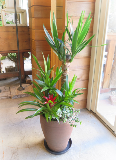 0530観葉植物ギフト〈和Style〉 ユッカの和鉢