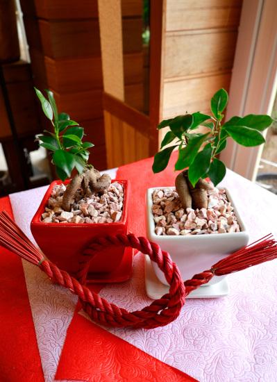 0541観葉植物ギフト 結婚のお祝いにおすすめ【紅白ガジュマル】
