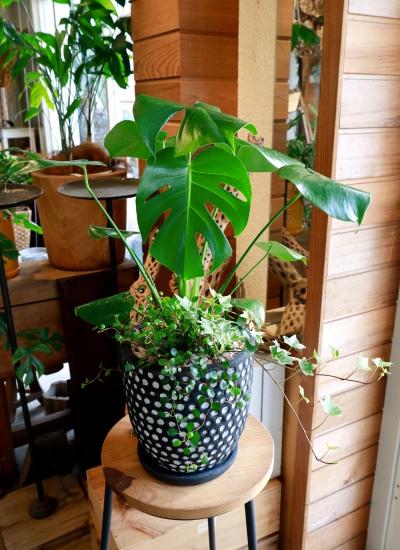 0550観葉植物ギフト モンステラとミニ観葉のブラックドット鉢