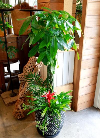 0548観葉植物ギフト パキラとミニ観葉のブラックドット鉢【大型商品】