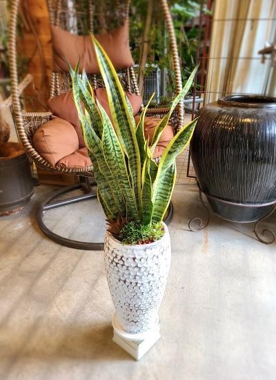 0551観葉植物ギフト サンスベリアとミニ多肉植物のホワイトドット鉢【大型商品】