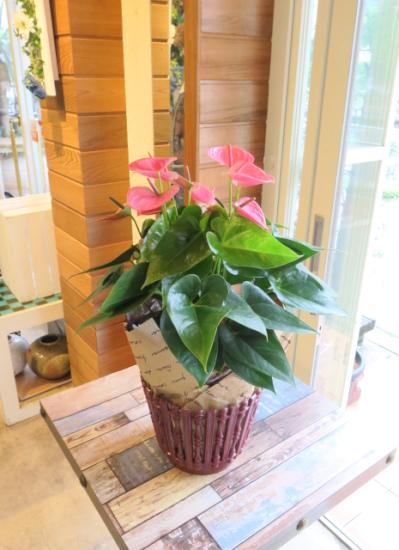 0556観葉植物ギフト アンスリューム(樹脂バスケットラッピング)ピンク花