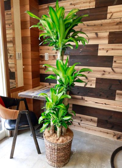 0554 観葉植物ギフト 開店お祝いにおすすめ 幸福の木とバスケット(シンプルタイプ)【大型商品】