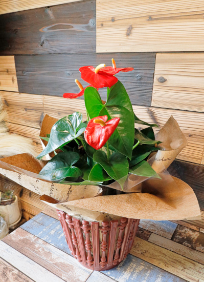 0561観葉植物ギフト アンスリューム(樹脂バスケットラッピング)レッド花
