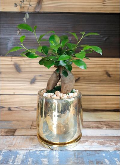 0566【観葉倶楽部の開運プランツ】 多幸の木ガジュマル☆富と繁栄のゴールド鉢