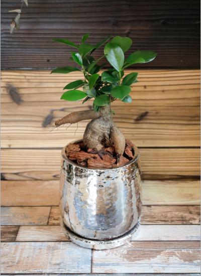 0567【観葉倶楽部の開運プランツ】 多幸の木ガジュマル☆才能を開花するシルバー鉢