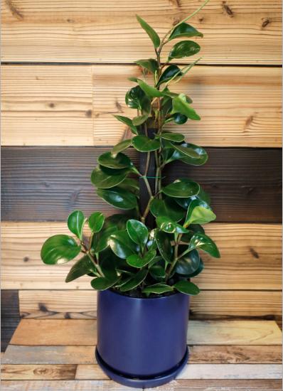 0570【観葉倶楽部の風水プランツ】 仕事運UP☆ブルー鉢 植物はプランツデザイナーにおまかせ!