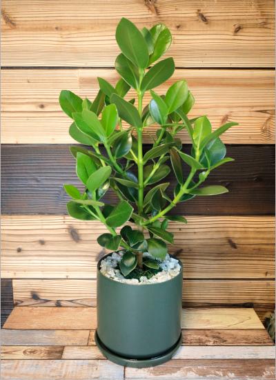 0571【観葉倶楽部の風水プランツ】 健康運UP☆グリーン鉢 植物はプランツデザイナーにおまかせ!