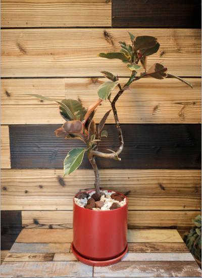 0572【観葉倶楽部の風水プランツ】 人気運UP☆レッド鉢 植物はプランツデザイナーにおまかせ!