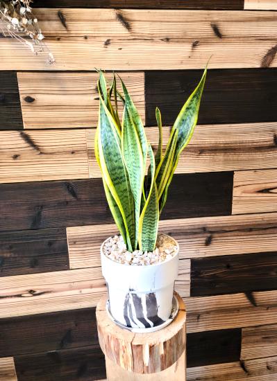 0565観葉植物ギフト サンスベリアとマーブルポット(ホワイトマーブル)