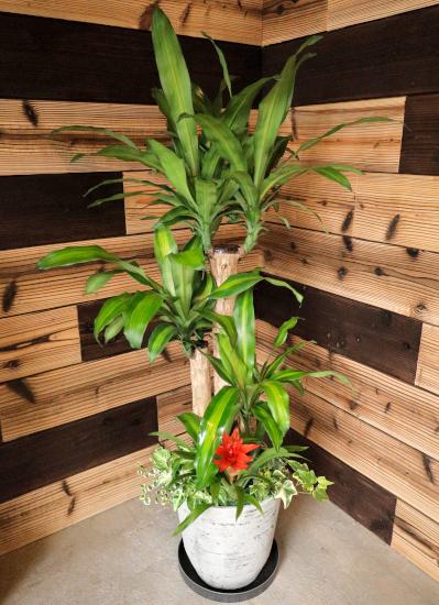 0580観葉植物ギフト 幸福の木の軽量おしゃれ鉢(レギュラータイプ)【大型商品】