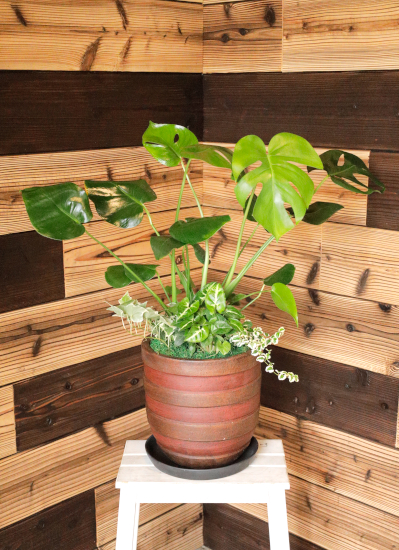0575観葉植物ギフト~和ジアン モンステラ アジアンテイスト鉢