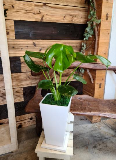 0576観葉植物ギフト~クリーンなホワイト鉢~縁起物・金運UPのモンステラ