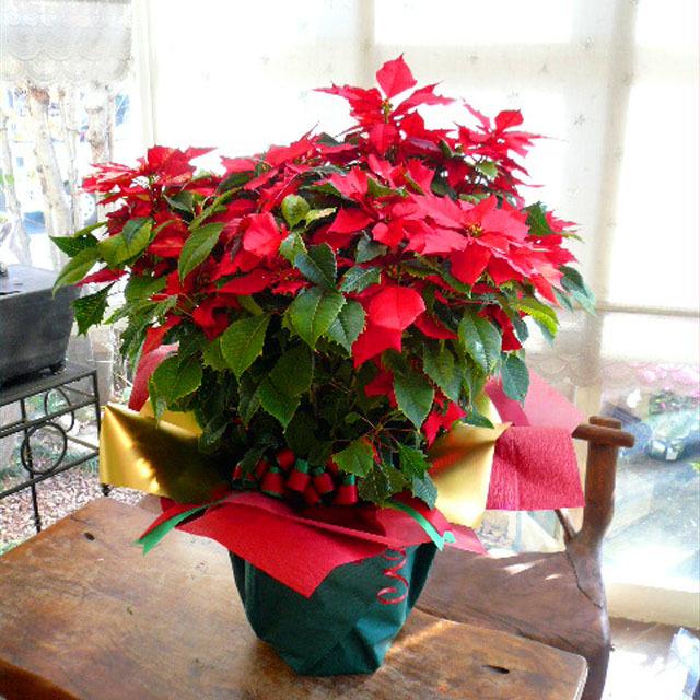 Merry☆X'mas!【送料無料】ポインセチアラッピング~クリスマスバージョン~