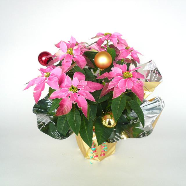 クリスマスをかわいく演出!【送料無料】プリンセチアラッピング