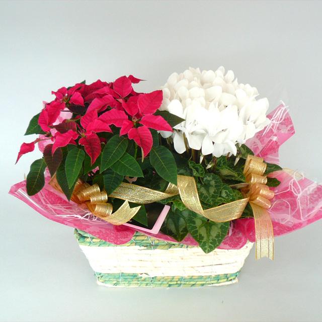 クリスマスや冬の贈り物に!【送料無料】プリンセチアとシクラメンのバスケットアレンジ